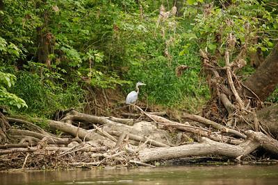 Blue Heron on White River log jam.