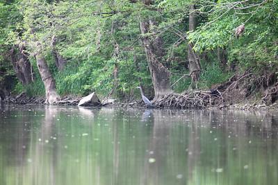 Blue Heron fishing on White River