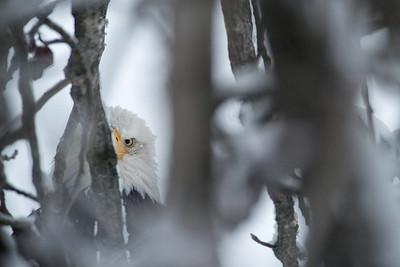 A skeptical bald eagle keeps a close eye on the photographers.