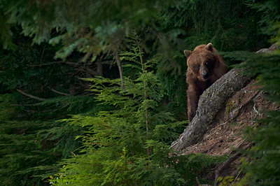 Grizzly in the coastal forest.