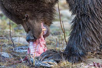 A grizzly rips into a freshly caught chum salmon.