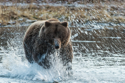 This sow grizzly chases after a salmon to fed her young cub.