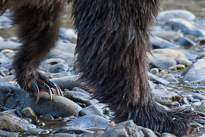 The razor sharp claws of grizzly bear can open a salmon like its' a slab of butter.