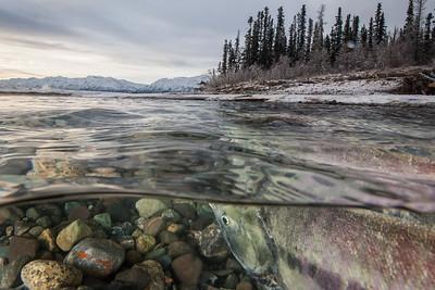 Kluane Salmon