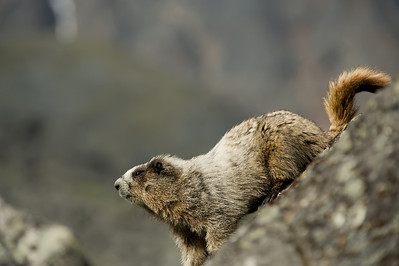 Hoary Marmots (Marmota Caligata) climbing rocks in the Cirque of Unclimables.
