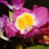DEC 18 2012<br /> LENSBABY SHOT,  The Happy Lady<br /> ORCHID FLOWERS OF HAWAII