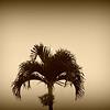 Nov 3 2012<br /> Moonset, Mauna Kea  Hilo, HI. <br /> Good morning But saying good night from Maui,