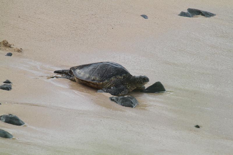 Hawaiian green sea turtle