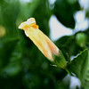 DEC 11 2012<br /> Yellow Hibiscus Bud<br /> Lensbaby shot