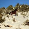 Wild Mustang,