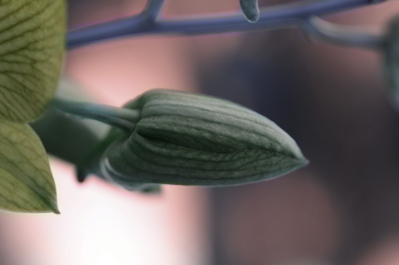Orchid Bud
