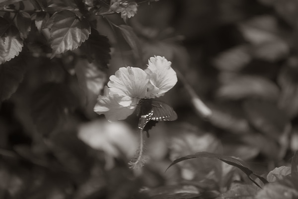 B&W Hibiscus