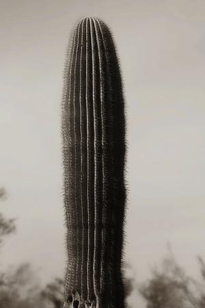 B&W Saguaro cactus