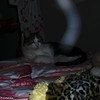 This is a very special photograph of my cat, Boo Boo, with The Light of Archangel Michael descending into his hind quarters. This image was taken in my bedroom on September 7, 2007 and is the first photograph I ever took of an Angelic Being.<br /> <br /> Boo Boo was resting comfortably on my bed and I picked up my Nikon E5400 camera to take some pictures of him. I focused Boo Boo in my lens, shot off a few pictures, and I did not see anything unusual in the lens while taking the pictures. It was not until I reviewed my images on the camera's monitor that I saw I had captured a beautiful, striated, curved white Light going into Boo Boo's left hind quarters (the side Boo is missing a foot). Was The Light coming down from the ceiling? What was I looking at? When I enlarged the image on my computer, I could see that the right side of the Light was outlined with a blue/purple hue and some areas of the Light were brighter than others.  Boo Boo's fur was clearly visible through the Light and there appeared to be another Light form crossing over the large Light and a more translucent Light near the bed post. While I felt in my soul I had photographed The Light of an Angel, a majority of the people I shared the picture with said The Light was nothing more than a malfunction of my camera. I found it hard to believe that they could not see what I saw. It was my first taste of skepticism and doubters and the beginning of a magical journey.