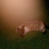 This is the second still image, of four images presented, of The Light of Jesus moving across my cat, Snickers; as captured on video the evening of March 14, 2017.