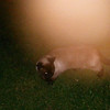 This is the third still image, of four images presented, of The Light of Jesus moving across my cat, Snickers; as captured on video the evening of March 14, 2017.