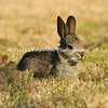 This image is of a wild baby Cottontail rabbit eating grass