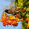 "This image of a male Orchard Oriole, perched on Orange Trumpet Flowers, was featured in the 2017 Spring edition of ""Birds & Bloom"" magazine. <br /> <br /> Orchard Orioles are slim songbirds and the smallest of North America's orioles. They eat nectar and pollen from flowers. It is a pollinator for some tropical plant species: as it feeds, its head gets dusted with pollen (as you can see in the photograph), which then gets transferred from flower to flower. Orchard Orioles spend summers across the eastern United States and southern   Canada and winter in Mexico through northern South America. Because this oriole was photographed in Arcadia, CA, it was considered a rare bird for the Los Angeles area."