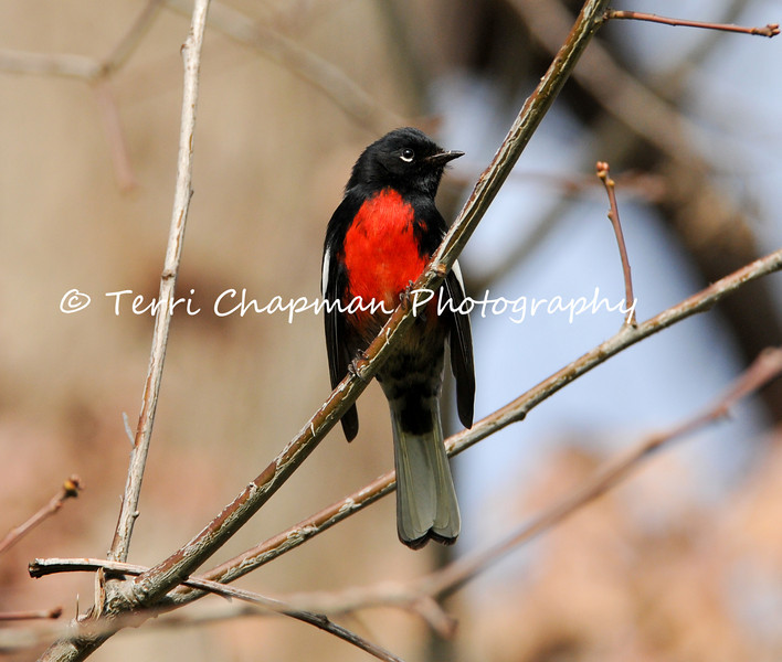 """This image is of a male Painted Redstart. The Painted Redstart is a stunning warbler and this particular bird was photographed in San Marino, California, which is not a native location for such a bird, since it is normally found in the borderlands of the American Southwest. Like other """"redstarts"""" in its genus, the Painted Redstart flashes its white wing patches and outer tail feathers when foraging. These action appear to flush insects that the redstart then pursues and captures."""