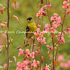 This is an image of a male Lesser Goldfinch perched on the stem of an Elegant Charkia flower.