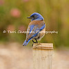 This image is of a male Western Bluebird perched on a bamboo fence post