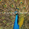 This image is of a male Indian Peacock proudly displaying his tail feathers