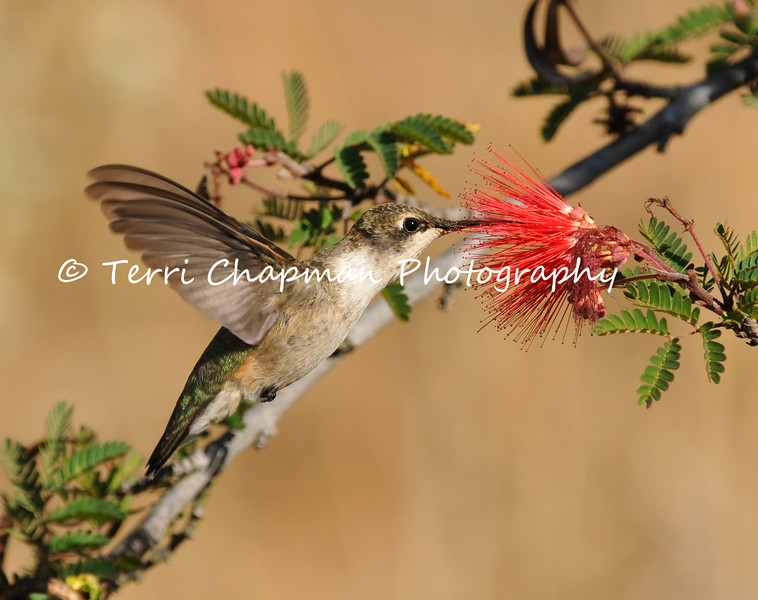 This is an image of a male Black-chinned Hummingbird drinking nectar from a Baja Fairy Duster bloom.