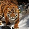 """This is an image of a male Sumatran Tiger. This tiger, along with his brother, were born at the Los Angeles Zoo & Botanical Gardens on August 6, 2011. In this photograph the tiger is exploring his enclosure on """"Snow Day."""" The Union Ice Company blanketed the tiger exhibit with fresh snow as part of an environmental enrichment program to help maintain the mental well being of the tigers. Sumatran tigers are listed as Endangered by the International Union for Conservation of Nature (IUCN) for there are less than 500 tigers remaining in the wild.  Continued agricultural habitat destruction, poaching, and killing of tigers that come into contact with villagers, all intensify the crises surrounding tiger."""
