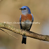 This image is of a male Western Bluebird. Western Bluebirds are small thrushes that usually perch upright.These birds are highly social, and usually feed in flocks during the non-breeding season. They hunt for terrestrial insects by dropping to the ground from a low perch. Western Bluebirds also frequently feed on berries in trees. Western Bluebirds rely on trees both for nesting cavities and hunting perches, and also perch on fences and utility lines.