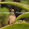 This image is of a Mourning Dove with nesting material in its bill.