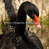 This is an image of a Black Swan photographed at the Santa Barbara Zoo. The Black Swan is a large waterbird that breeds mainly in the southeast and southwest regions of Australia. The species was hunted to extinction in New Zealand, but later reintroduced.