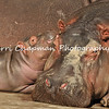 "This is an image of ""Rosie"" the baby hippopotamus and her mother, Mara, who reside at the Los Angeles Zoo & Botanical Gardens. Mara went into labor at 1:00 p.m. on Halloween 2014 and gave birth to Rosie 2 1/2 hours later. Rosie is the first hippo calf the Zoo has had in 26 years.  Currently, Rosie, her mother and her father, Adhama, can be seen daily on exhibit at the Zoo."