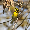 This image is of a male Townsend's Warbler. This songbird is a bird of the Pacific Northwest and nests in coniferous forests from Alaska to Oregon. It winters in two distinct areas: in a narrow strip along the Pacific Coast, and in Mexico and Central America.