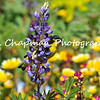This image is of a male Lesser Goldfinch perched on a Lupine bloom in a wildflower garden.