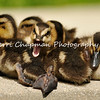 This image is of five Mallard ducklings hanging out on the side of a pond. Although the middle duckling looks like he protesting his siblings surrounding him, he is actually yawning.