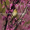 This image is of a female Lesser Goldfinch perched in a blooming Redbud Tree