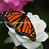 "This image is of a male Monarch Butterfly that was born in my garden on June 4, 2015. Before he took his first flight into the world, I placed him on an ""iceberg"" rose to rest up and I captured the moment. <br /> <br /> The iconic Monarch -- known as a familiar backyard beauty across the United States -- was once one of the most common butterflies of North America, noted for its spectacular multigenerational migration each year from Mexico to Canada and back. But in the past 20 years the Monarch population has declined by 90 percent. That's largely due to the widespread planting of genetically engineered crops in the Midwest (where most Monarchs are born) and the use there of Monsanto's Roundup herbicide, a potent killer of milkweed, the Monarch caterpillar's ONLY food.<br /> <br /> With the Monarch butterfly numbers at an all time low, the Monarch has cleared its first hurdle toward Endangered Species Act protection. In response to a summer 2014 petition by the Center and allies, the U.S. Fish and Wildlife Service has declared that safeguards may be warranted, and the agency is now embarking on a one-year review of the species' status.<br /> <br /> Habitat must be protected now, before we see the day when this miracle of nature is only a memory. So, will you plant Milkweed in your garden to help the Monarch survive? Planting new habitat will not only help butterflies around your home but will help butterflies reach others who without your assistance would not see a Monarch. One seed can change the world, but you have to plant it. Thank you for making a difference!"
