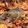 This image is of a Mourning Dove resting in a field of Sweet Gum leaves. I was actually sitting on the ground, photographing a Green Heron hunting for fish in a nearby pond, when this dove flew in beside me and laid down in the fall leaves. I think it is such a peaceful picture.