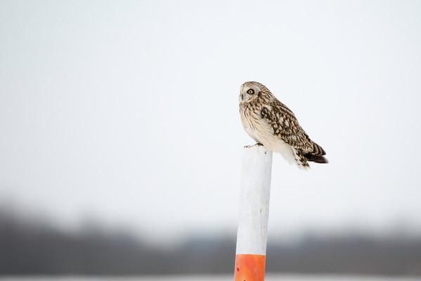 2013-12-15 Short-Eared Owls
