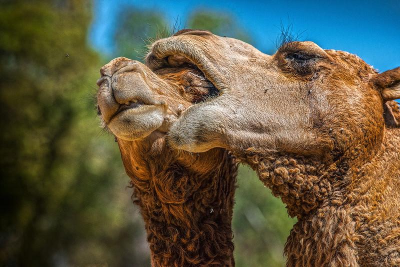 Camel Luv OPTO