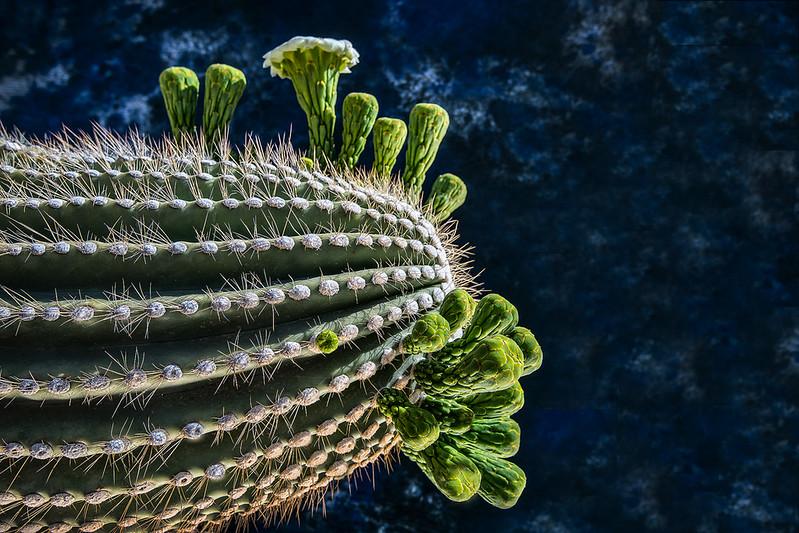 Saguaro Study OPTO