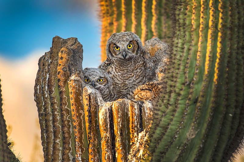 Great Horned Owls in Saguaro OPTO 0210