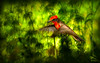 Vermillion Flycatcher OPTO