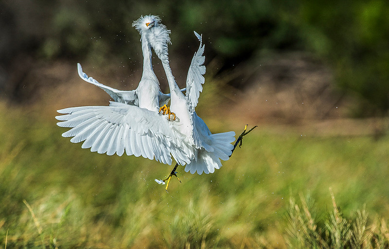 Fighting Snowy Egrets OPTO