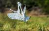 Fighting Snowy Egrets OPTO