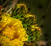 Prickly Pear Flower 2 OPTO
