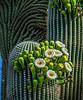 Saguaro Study 7 OPTO