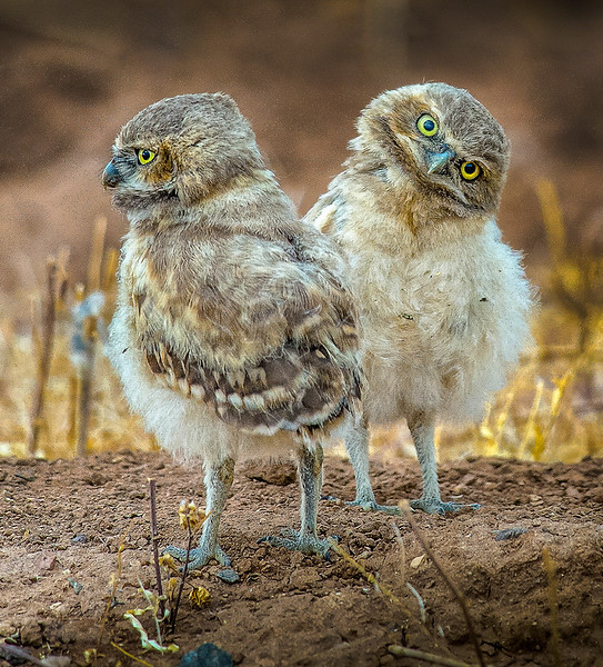 You Talkin to Me Burrowing Owls OPTO