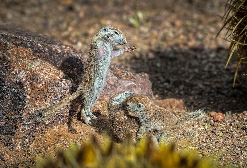 Baby Round-tailed Ground Squirrels
