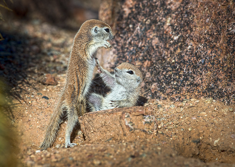 Round Tailed Ground Squirrel Babys